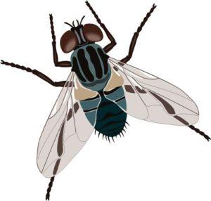 Хвалькувата муха